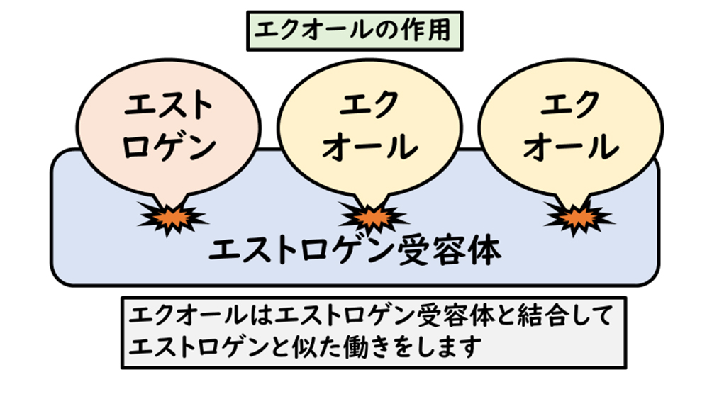 【画像】エクオールの作用図解
